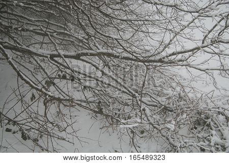 Branches covered by snow in the fog