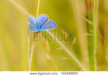 The male butterfly with blue wings sitting in the grass on a yellow background