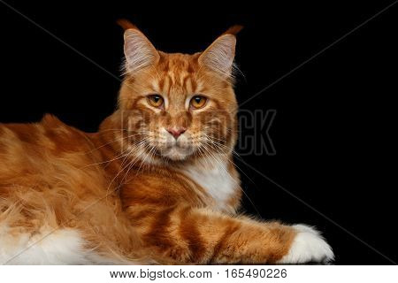 Amazing Tabby Ginger Maine Coon Cat Lying and Stare in camera Isolated on Black Background, Side view