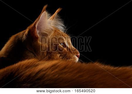 Close-up Amazing Tabby Ginger Maine Coon Cat Lying and looking for Isolated on Black Background, Profile view