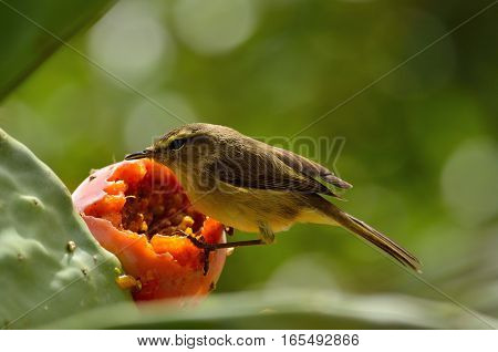 Small phylloscopus bird on prickly pear and ready to eat