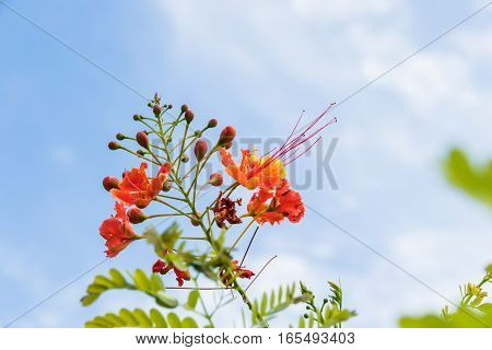 Caesalpinia pulcherrima flowerDelonix regia-Flamboyant-Gulmohar-Royal Poinciana subject blur too soft