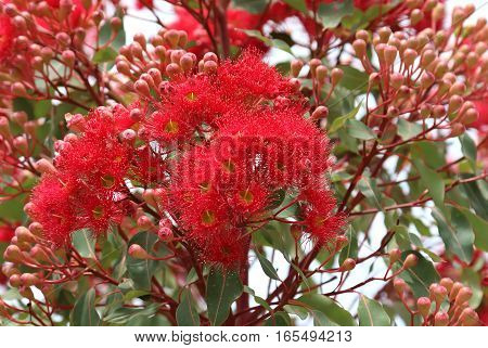 Decorative Flowering Eucalyptus in bloom with Gum-nuts