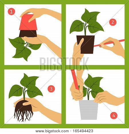 Guide transplant houseplant. Infographics for the gardener