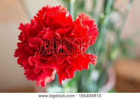 Two red carnation. Closeup view on inflorescence.