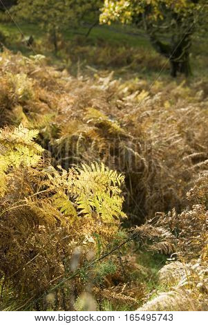 Autumn woodland scenic with yellow and brown fern leaves Padley Gorge Longshaw Estate Peak District Derbyshire UK