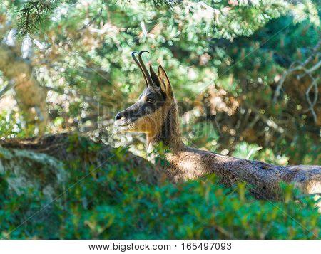 Ibex in the bush of vall de Nuria, Catalunya