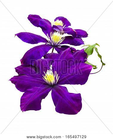 purple flower of clematis. clematis flower isolated on a white background