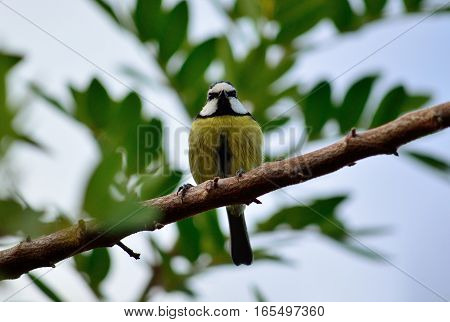 Small blue tit  perched on tree branch