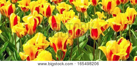 yellow and red tulips with water drops, flowerbed after rain postcard, holiday background