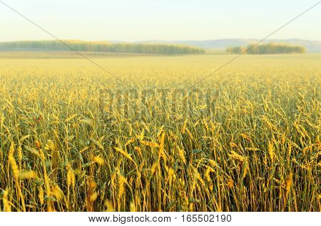 View of autumn foggy landscape. Yellow rye field.