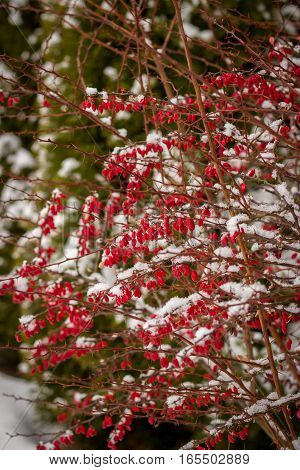 Red Barberry On The Bush In The Winter On A Background Of Trees And Tui
