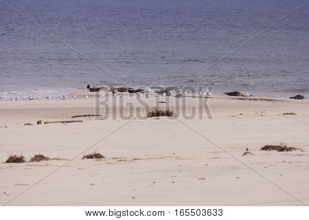 Seals And Birds Each On North Frisian Island Of Amrum In Germany