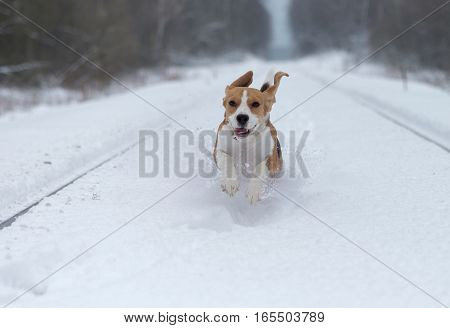The Beagle dog running around and playing in a snowy forest