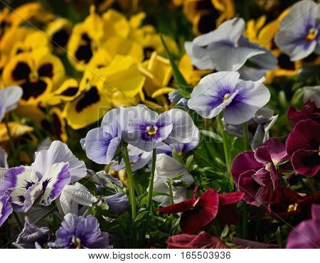 flowerbed with blue yellow and red pansies closeup