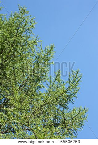 Green larch tree branches with many green needles in spring over clear blue sky