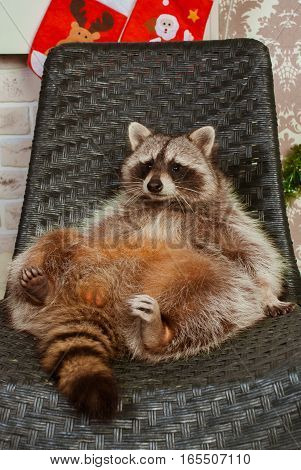 Beautiful big raccoon sitting on the black chair