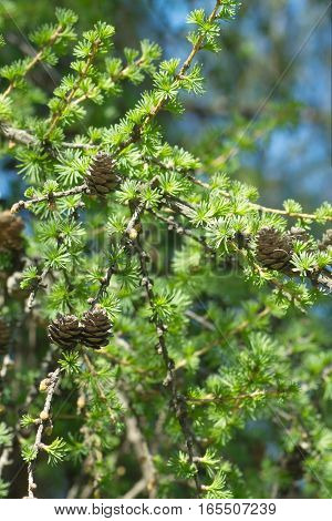 Green larch tree branches with small brown cones closeup vertical view