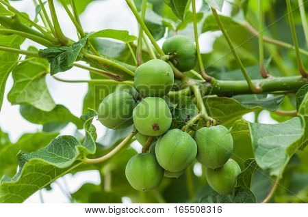 Jatropha on tree in natural of Thailand