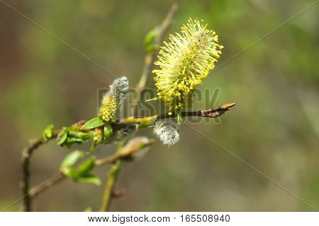 Willow branch with blossom buds in spring extreme closeup on blur background