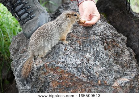 Cute arctic ground squirrel smelling a peace of bread