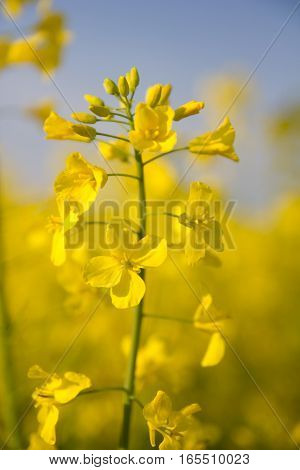 Yellow Canola, Rapeseed, colza flowers background and sky