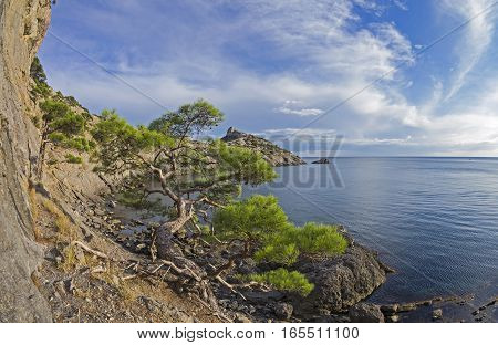 Relict pine tree next to an old ruined mountain trail over the sea. Crimea September.
