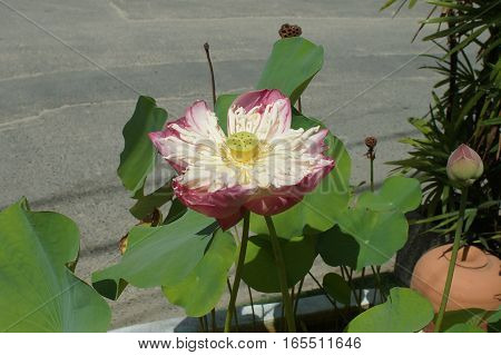 Lotus nucifera is one of the most unusually beautiful flowers on the planet, succulent herbs and unusual fruits.