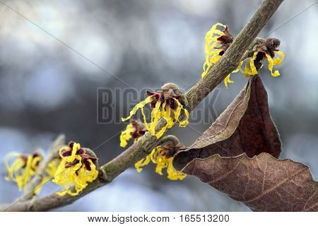 blooming witch hazel branch in winter yellow flowers of the medical plant hamamelis mollis and a dry leaf against a blurred bokeh background with copy space selective focus narrow depth of field