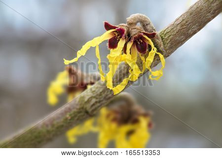 witch hazel (hamamelis mollis) in bloom yellow flowers of the medical plant against a blurry bokeh background with copy space macro shot selective focus narrow depth of field