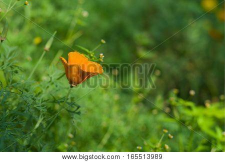 Californian poppy lost in a garden jungle.