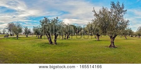 Panoramic view of green grass field with olive trees under blue sky