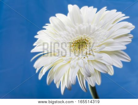 Transvaal daisy flower. Close up in a sunny day