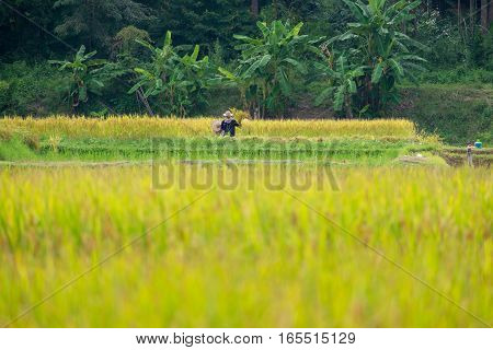 Yellow beautiful rice field with farmer at Nan province of Thailand