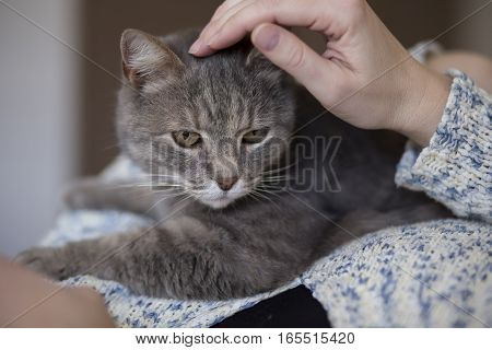Beautiful tabby cat being held and cuddled by its owner enjoying and purring. Selective focus