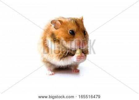 hamster eating a piece of banana isolated on white background