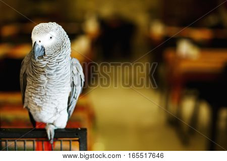 African grey parrot or Congo African grey parrot (Psittacus erithacus) also named jaco (jaquot) against red background
