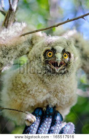 Long-eared owl on a hand, little bird