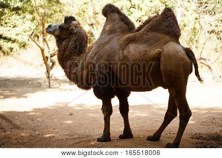 Brown Bactrian Camel At The Nature