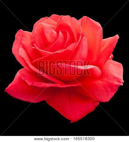 pink rose on a black background contrasts