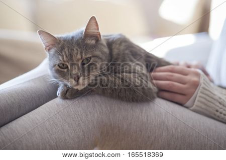 Furry tabby cat lying on its owner's lap enjoying being cuddled and purring. Selective focus