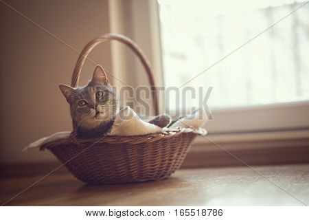 Beautiful tabby cat lying in a basket on its blanket next to a living room window. Selective focus
