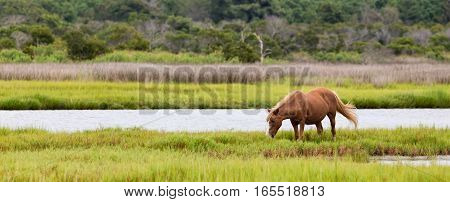 A Wild pony horse of Assateague Island Maryland USA. There is one horse grazing in a field. The depth of field is fairly shallow with the horse being in sharp focus. The photo is in panoramic format. These animals are also known as Assateague Horse or Chi