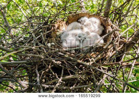 Long eared Owl Little chicks in the nest