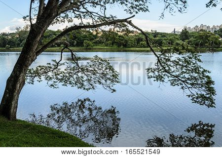 Tree On The Shores Of The Lake Leaning Over The Water And Making Reflection. Lago Igapo In Londrina,