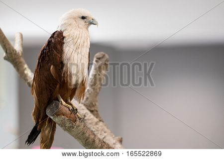 Close up of Brahminy kite or Red-backed sea-eagle