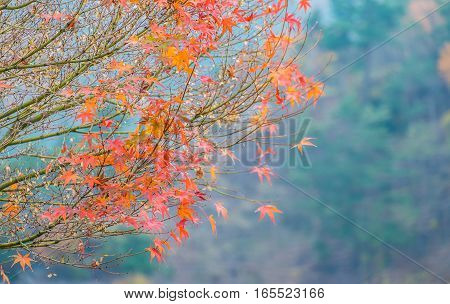 Autumn Leaves Of Maple With Clear Sky