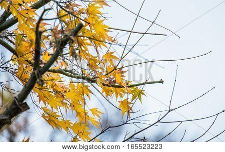 Autumn Leaves Of Maple