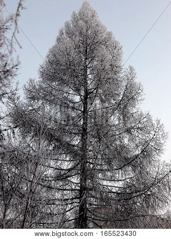 Beautiful high fir emblazoned on a background of clear sky. Spruce in snow winter evening
