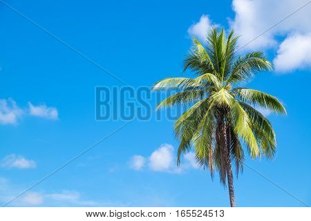Coconut tree with clear sky with copy space